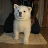 Snow (Pink Collar) - Female - Show/Breeding Quality - Adopted by the Voss Family of San Diego
