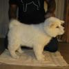 Snow (Pink Collar) - Female - Show/Breeding Quality - AAdopted by the Voss Family of San Diego